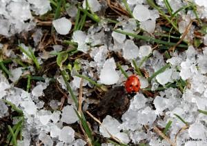 Ladybug on ice