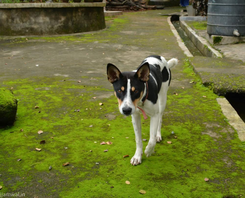 Meghalaya - Guesthouse dog