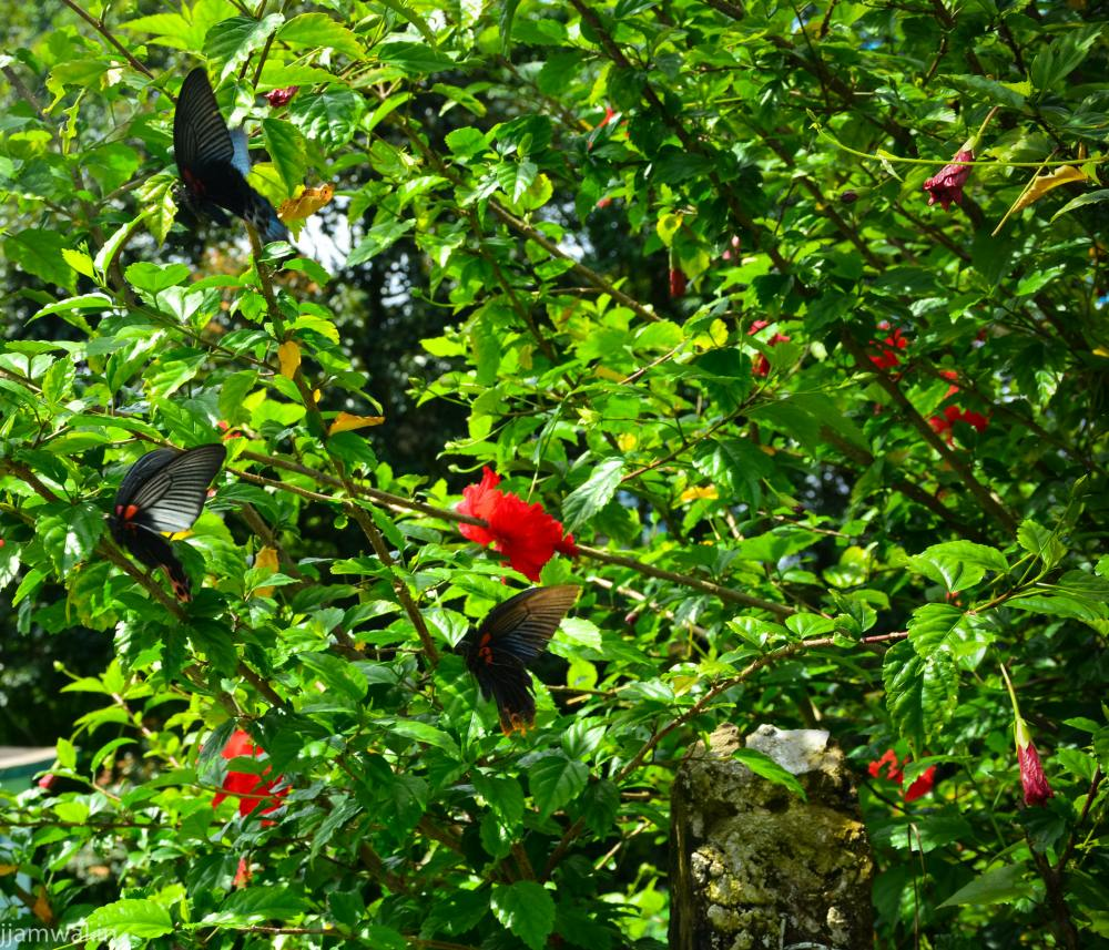 Huge butterflies in village