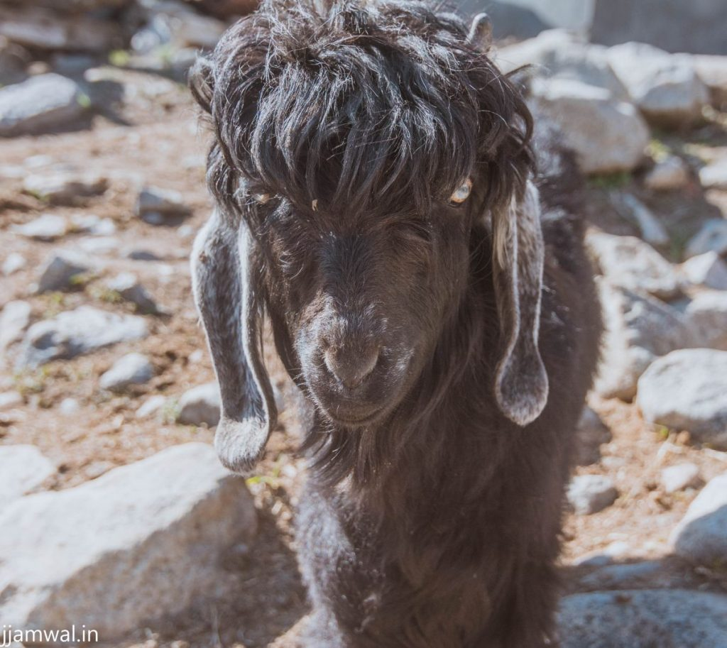 A Tibetan goat with a cool hairstyle