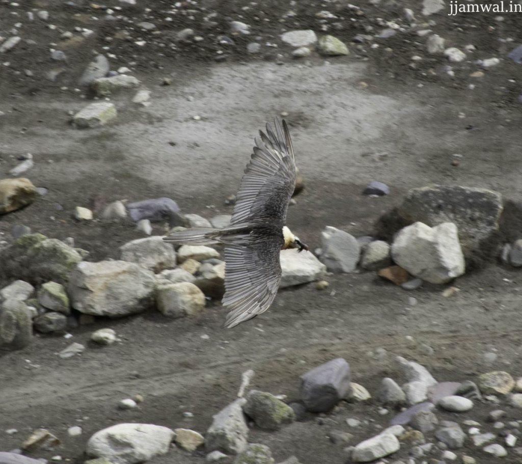 A rare Bearded Vulture